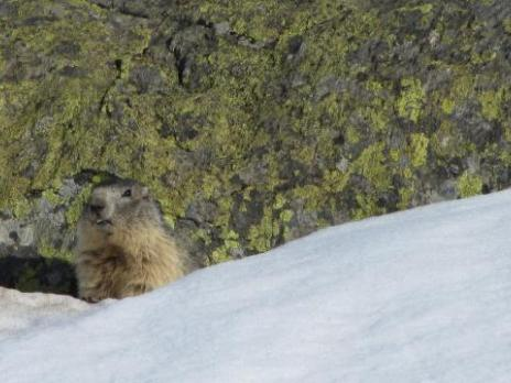 Ski de randonnée au printemps, les marmottes sont sorties.