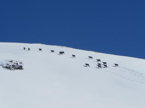 Ski de randonnée en haute Tarentaise. Horde de chamois